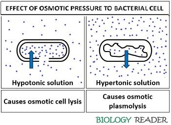 Effect of osmotic pressure to bacterial cell