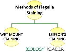 Methods of flagella staining