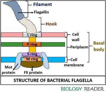 Structure of bacterial flagella