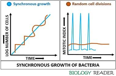 Synchronous growth of bacteria