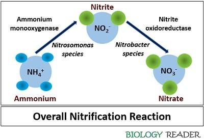 Overall nitrification reaction