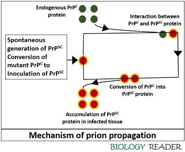 Prion propagation