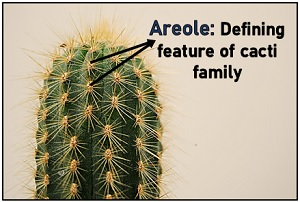 Areole in cactus
