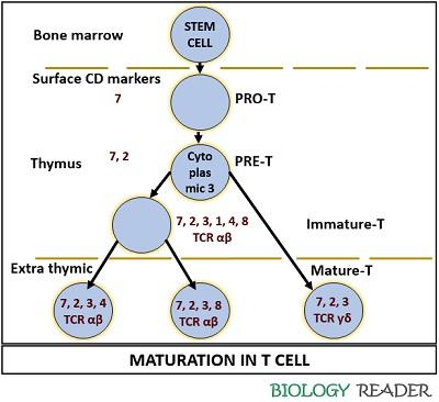 Maturation of t cell