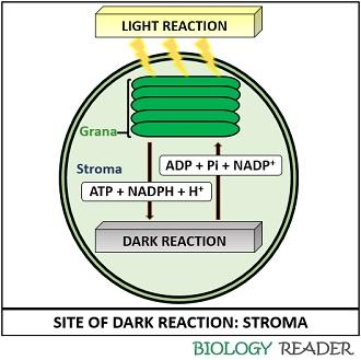 Occurence of dark reaction or calvin cycle