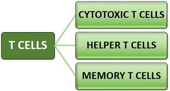 Types of T Lymphocytes