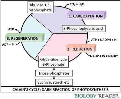 process of calvin cycle