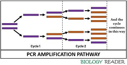PCR amplification pathway