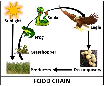diagram of food chain
