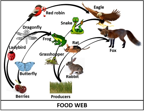 diagram of food web