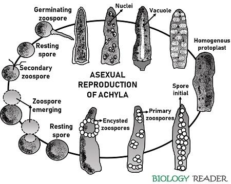 Asexual Reproduction in Achyla