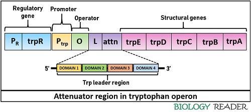 Attenuator region in trp operon