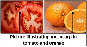 Picture illustrating mesocarp of fruit