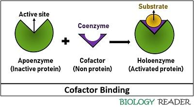 cofactor binding with an enzyme