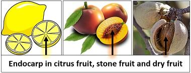 illustration of endocarp in fruits