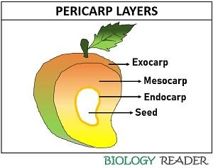 pericarp layers