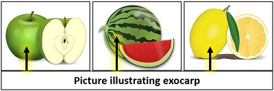 picture illustrating exocarp