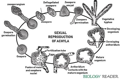sexual reproduction of Achyla