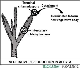 vegetative reproduction in Achyla