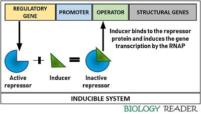 Inducible system