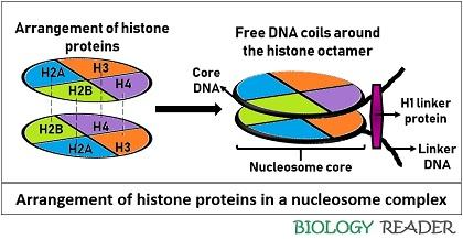 arrangement of histone proteins in a nucleosome