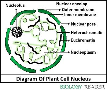 diagram of a plant cell nucleus