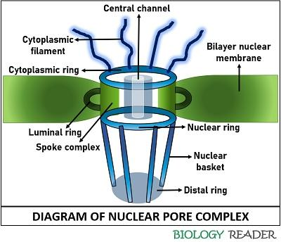diagram of nuclear pore complex
