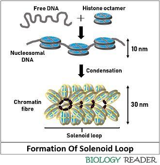 formation of solenoid loop during DNA packaging