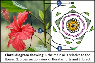 significance of floral diagram