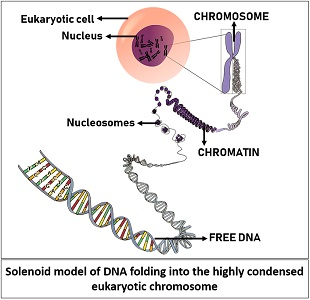 solenoid model of DNA folding