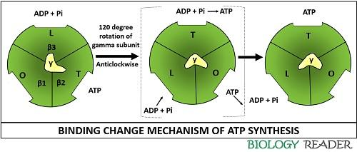 Binding change mechanism of ATP synthesis
