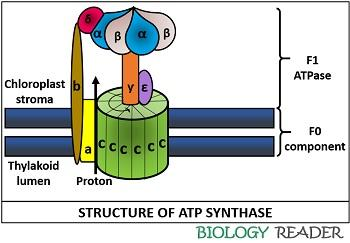 Diagram of ATP synthase