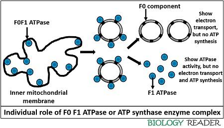 Function of ATP synthase