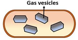 Gas vesicles in prokaryotes