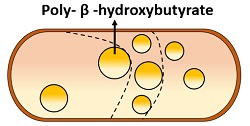 PHB inclusions in bacteria