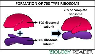 formation of 70S ribosome