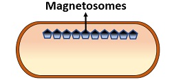 magnetosomes in bacteria