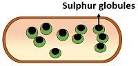 sulphur globules in prokaryotes
