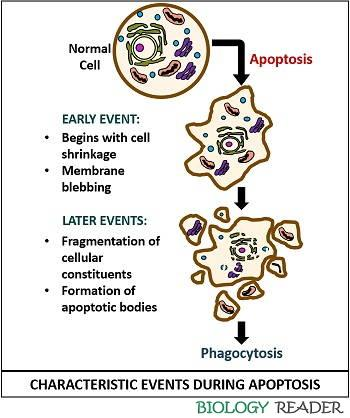 characteristic events during apoptosis