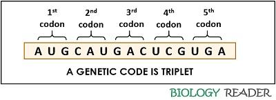 triplet codons