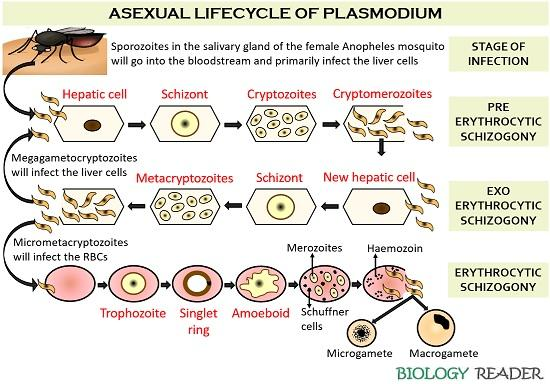 Asexual lifecycle of Plasmodium