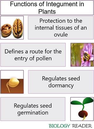 Functions of integument in plants