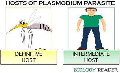 Hosts of malaria parasite