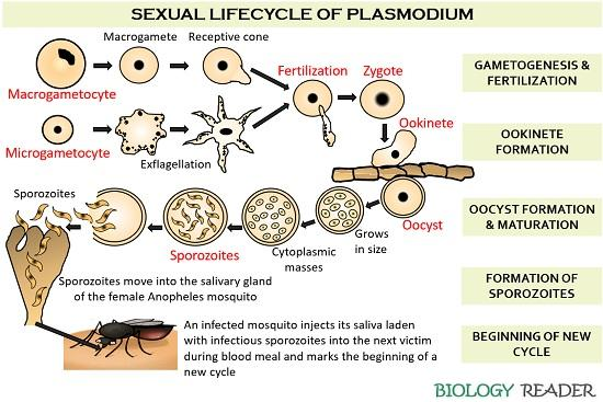 Sexual life cycle of Plasmodium