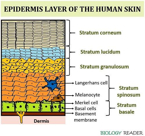 epidermis of skin