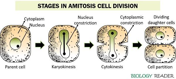 stages in amitosis cell division