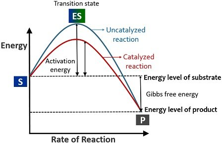 Activation energy-mechanism of enzyme action