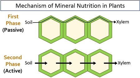 mechanism of mineral nutrition in plants