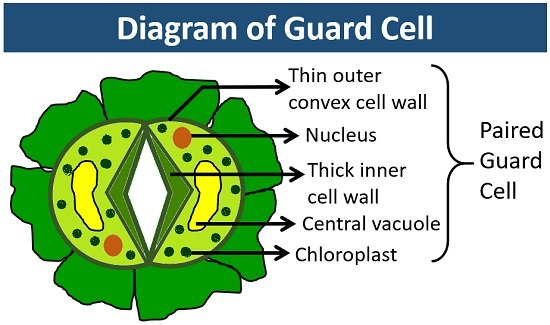 diagram of guard cell