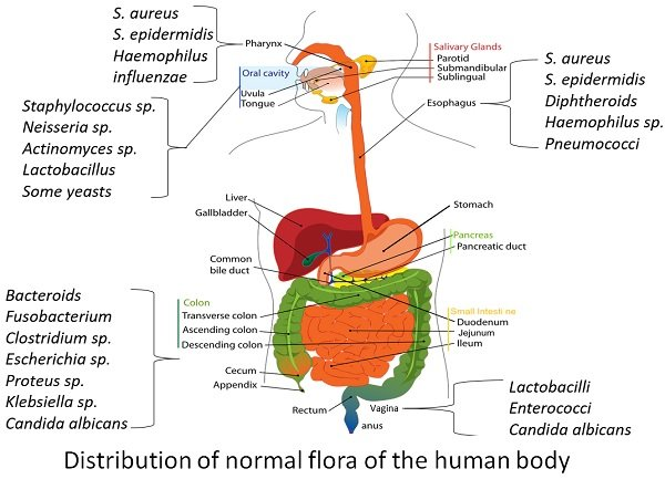 distribution of normal flora of human body